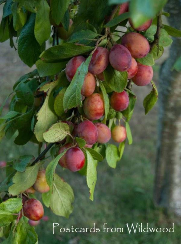 plums-on-tree