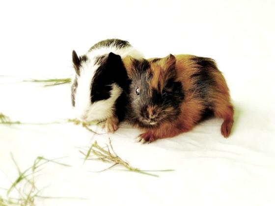 guinea-pigs1