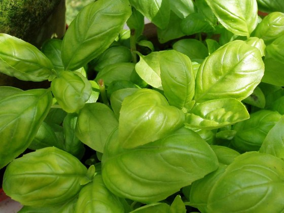 how_to_grow_basil