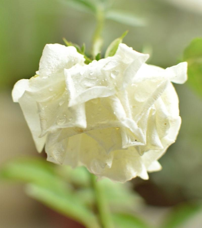 White rose 0